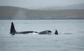 Orcas - the famous Busta (left), Razor (right), and Razor's calf (middle), Shetland Islands