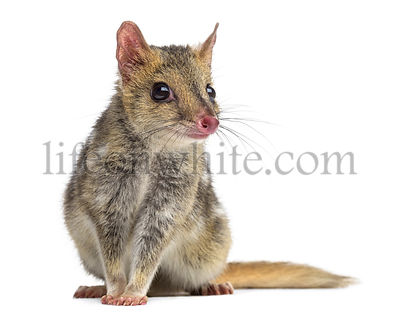 Quoll sitting, isolated on white