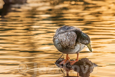 Mallard duck perching on stone in lake during golden hour.