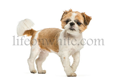 Shih Tzu, 8 months old, in front of white background