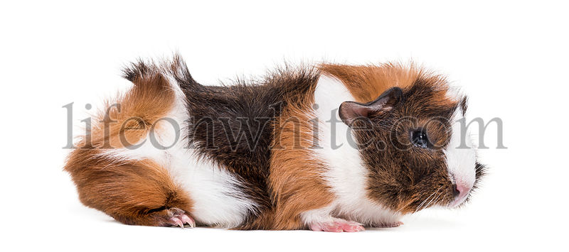 Guinea pig against white background