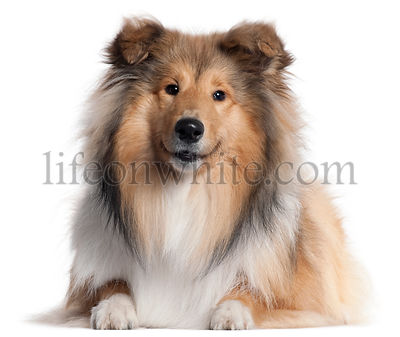 Scotch Collie, 9 months old, lying in front of white background