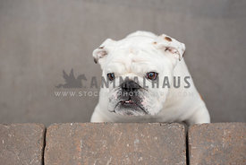 overhead view of bulldog standing on hind legs against brick wall