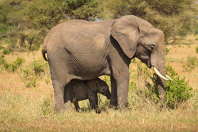 Baby Elephant Protected By Mother I