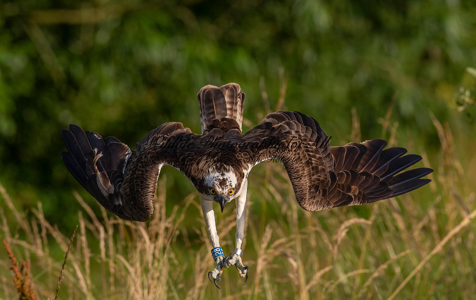 Osprey dive - Mike Roberts