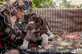 A German Shorthaired Pointer laying on a patio bench