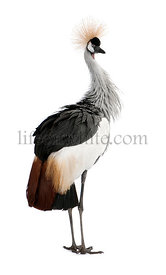Grey Crowned Crane - Balearica regulorum (18 months)