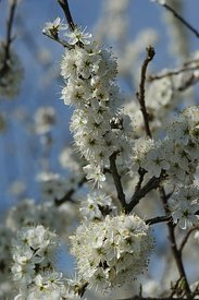 The springtime brings an abundant white blossoming on the blackthorn, Prunus spinosa.