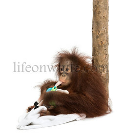 Young Bornean orangutan leant against a tree trunk, chewing its stuffed toy, Pongo pygmaeus, 18 months old, isolated on white