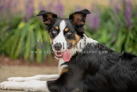 close up of Australian Shepherd with tongue out