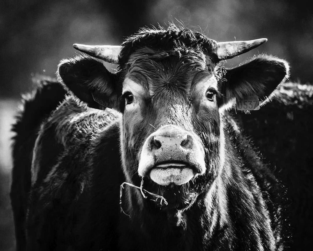 00477-Parthenaise_cow_in_the_meadow_France_2018_Laurent_Baheux