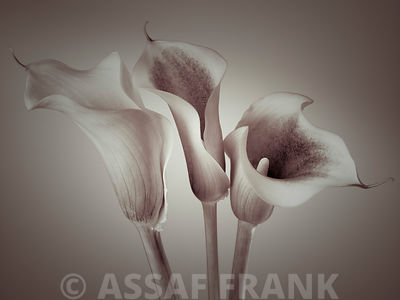 Close-up of three white Calla Lilies, Studio Shot