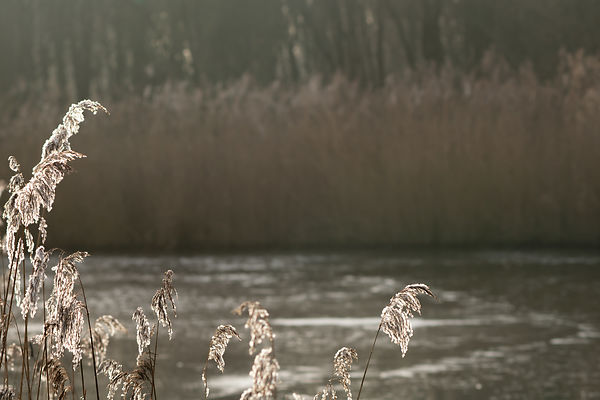Sunlit reed plumes along the water