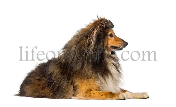 Shetland Sheepdog against white background