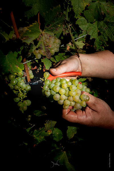 Manual picking of grapes in Champagne