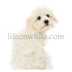 Rear view of a Maltese puppy looking at the camera, 7 months old, isolated on white