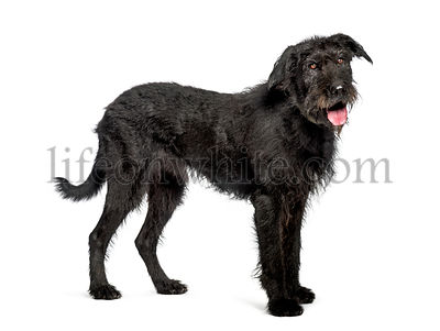 Bouvier des Flandres, 9 years old, in front of white background