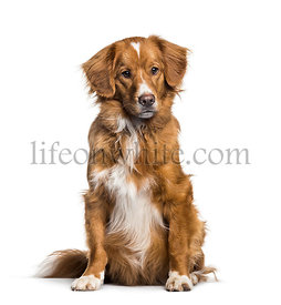 Toller, 2 months, sitting against white background