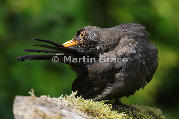 Female Common Blackbird (Turdus merula) preens her tail feathers after bathing, Lake District National Park, Cumbria, England