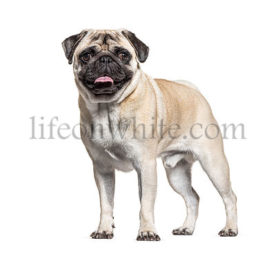 Pug standing, isolated on white