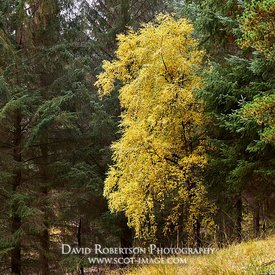 Prints & Stock Image - Silver Birch tree on the edge of a forestry plantation, Glen Lyon, Perth and Kinross, Scotland.