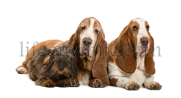 Two Basset Hounds and a Dachshund lying, isolated on white