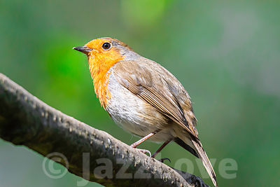 European robin perching on tree branch in british woodland