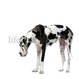 Grey Great Dane