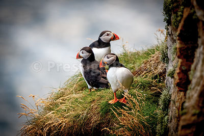 Two puffins looking out to sea and one puffin staring at the cliff face