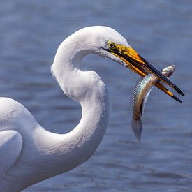 Mjallhegri_-_Great_White_Heron_fishing_-_emm.is