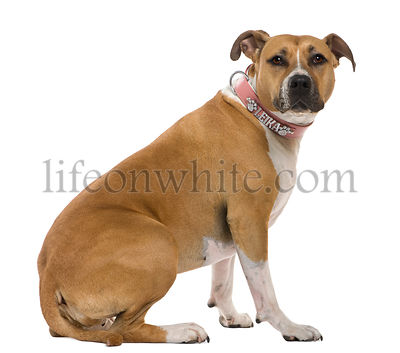 American Staffordshire terrier, 3 years old, sitting in front of white background
