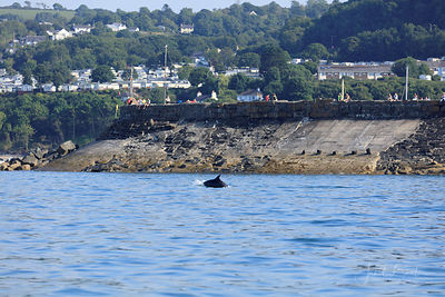 Bottlenose dolphins, New Quay