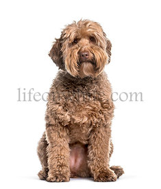 Labradoodle , 2 years, sitting against white background
