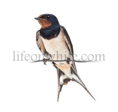 Barn Swallow, Hirundo rustica, perched on a wire against white background
