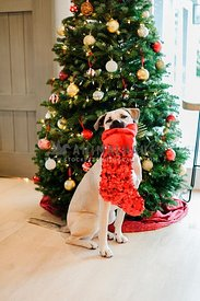 A large dog holding a red sequin stocking in front of a Christmas Tree