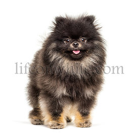 Standing Pomeranian, isolated on white
