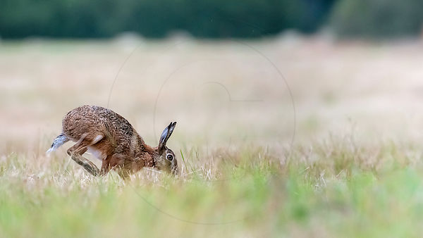 European Hare running in a field