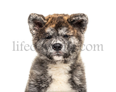 Close-up of a Akita inu dog, isolated on white