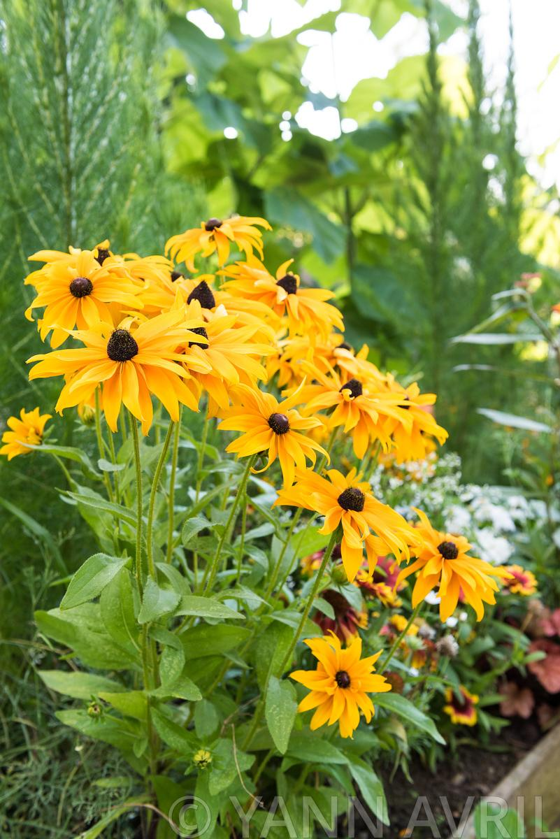 Yann Avril Photography Garden And Nature Rudbeckia Indian