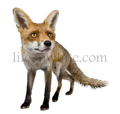 Front view of Red Fox, 1 year old, standing in front of white background