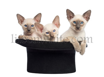 Three Oriental Shorthair kittens, 9 weeks old, sitting in magician\'s hat, against white background