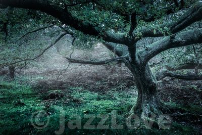 Oak tree in misty woodland.