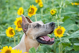 close up head shot of smiling great dane in a sunflower field