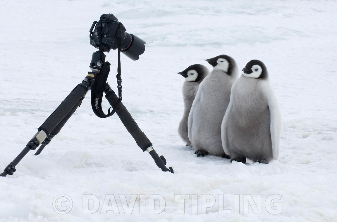 Emperor Penguin, Aptenodytes forsteri, chicks posing for the camera Snow Hill Island, Weddell Sea, Antarctica, November