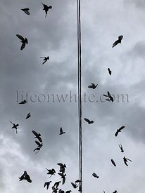 Pigeons, bird, soaring from a black wire against a grey cloudy background. Flying birds.