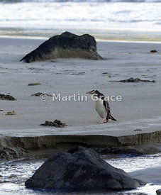 Yellow-Eyed Penguin (Megadyptes antipodes) crosses the beach on the way back to the colony from the sea, Otago Peninsula, Dun...
