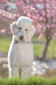 front view full body white standard poodle in front of pink trees