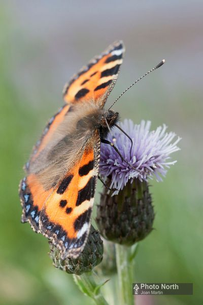 BUTTERFLY 22A - Small tortoiseshell