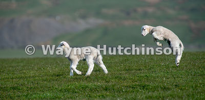 White lambs playing in evening sunshine, Yorkshire Dales National Park, UK.