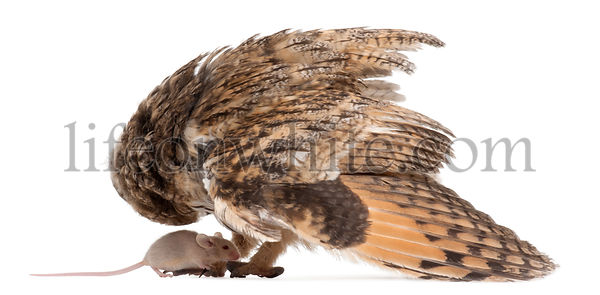 Eurasian Scops-owl looking down at a mouse, Otus scops, 2 months old, in front of white background
